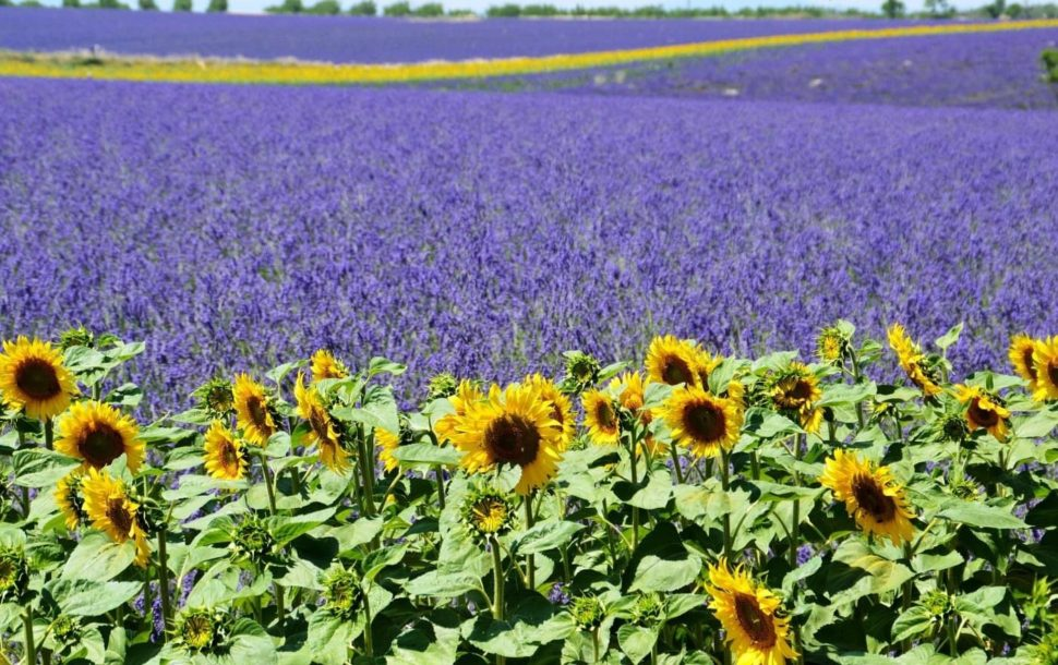 Pole Levandule - Provence