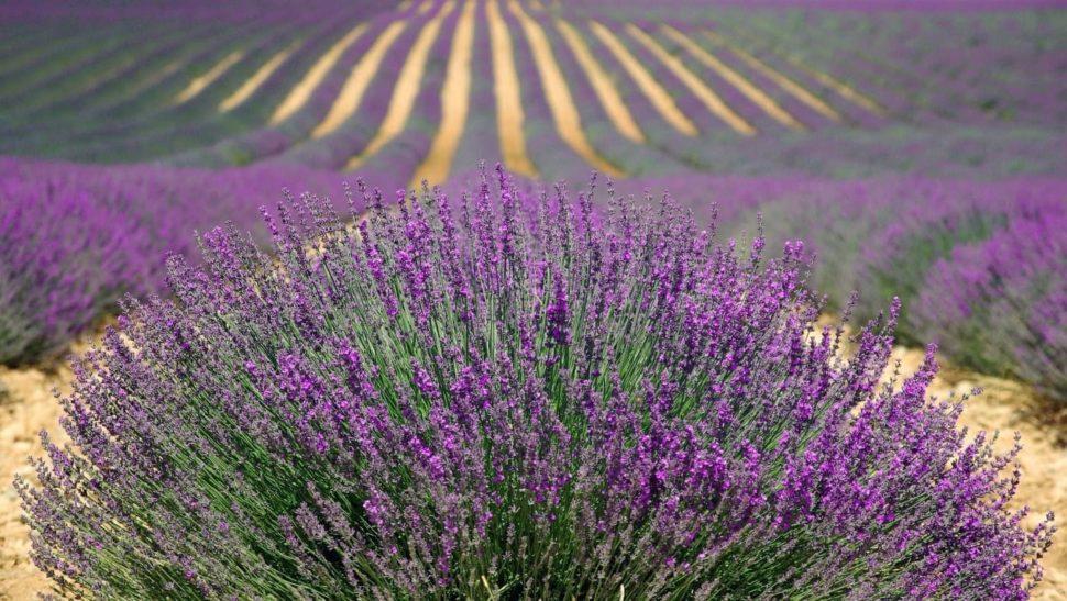 Provence Levandule