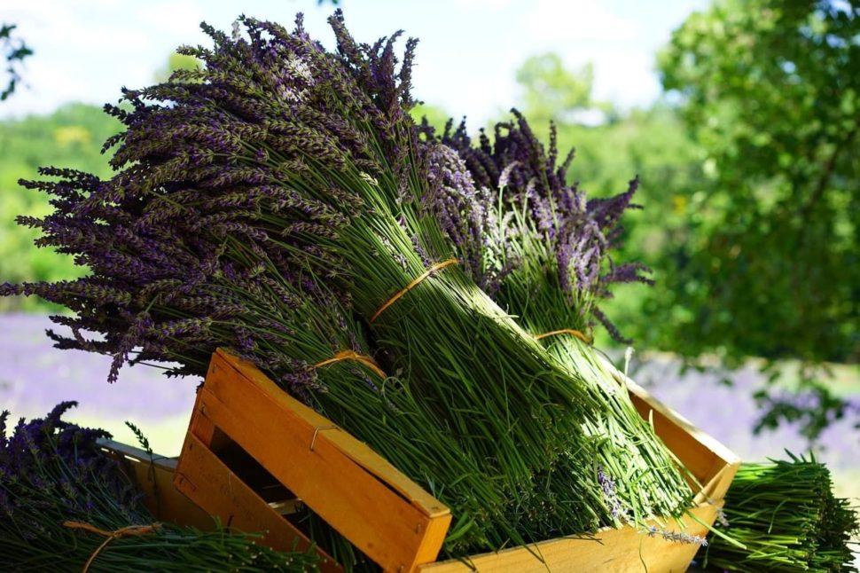 Sklizené Levandule - Provence